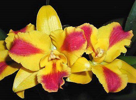 Orquidea Potinara Burana Beauty - Muda