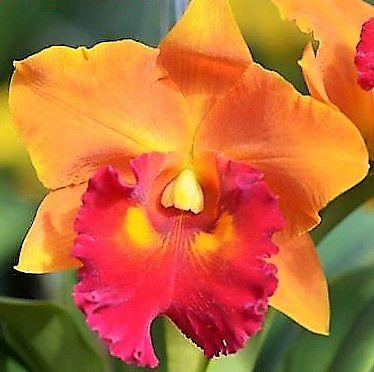 Orquidea Chialin Golden Bell - Muda