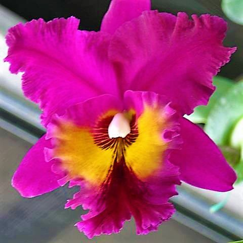 Orquidea Blc King of Taiwan - Muda