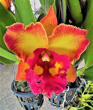 Orquidea Cattleya Haadyai Delight x Lucky Man - Muda