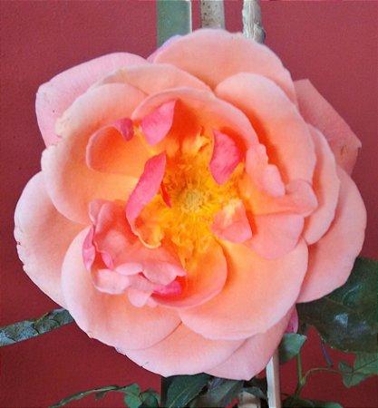 Rosa Trepadeira Coral Flores Grandes