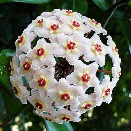 Hoya carnosa - Flor de cera
