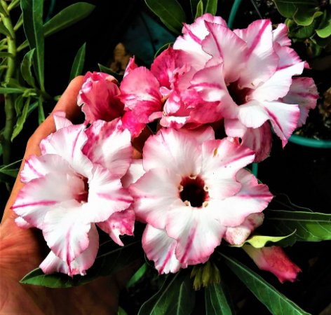 Rosa do Deserto TS-1 Flores Dobradas Enxertada