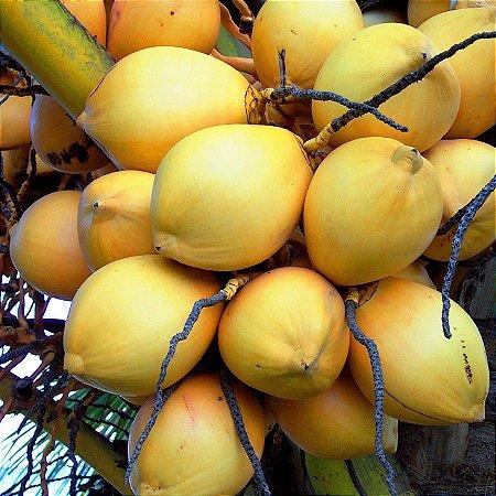 Coqueiro ou Coco Anão Golden var. Malaio Original