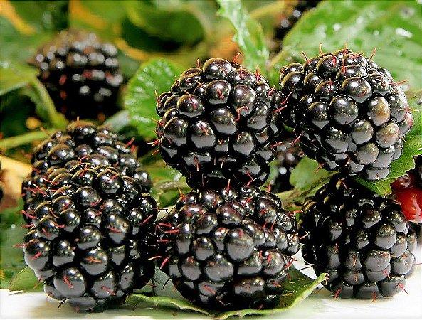 Blackberry cv. Tupy ou Amora Arbustiva Preta Tupy