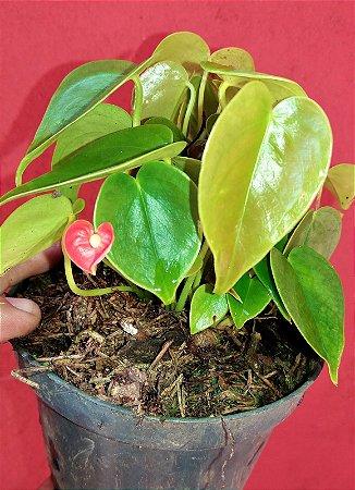 Micro Antúrio Vermelho - Flores de 1 cm - Preciosidade