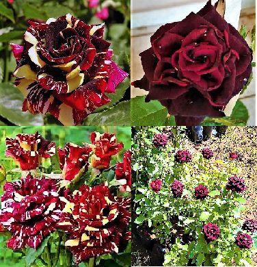 Kit 2 Tipos de Roseiras Raras : Rosa Abracadabra Multicor e  Rosa Negra Natural - Mudas Enxertadas