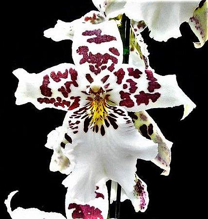 Orquídea Beallara Pastel Massive - Muda