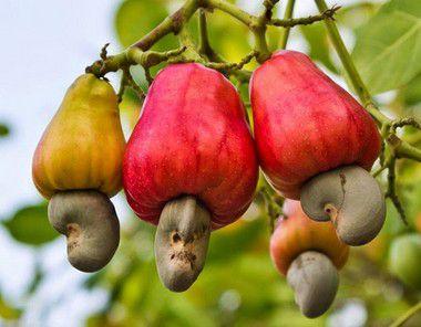 Caju Anão Precoce - Excelente para Cultivo em Vaso