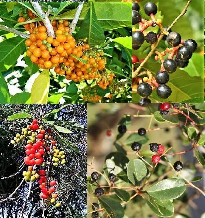 KIT c/ 4 Frutíferas Atrativas de Pássaros - Sabia - Tucaneira - Araçari - Guamirim-araçá