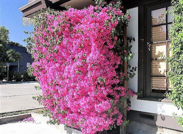 Primavera de Flores Rosa