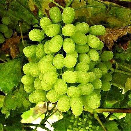 Uva SEM semente Enxertada Thompson - Produz em Vasos e Climas Quentes