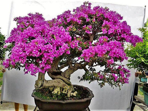 Bonsai de Primavera Flores Roxas