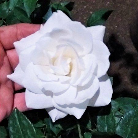 ROSA TREPADEIRA BRANCA DE FLORES GRANDES