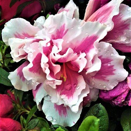 Azálea Centro Rosa Bordas Brancas Flor Dobrada