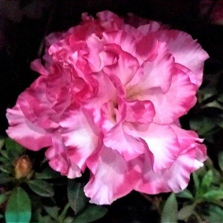 Azaleia Bordas Rosas Centro Branco Flor Dobrada