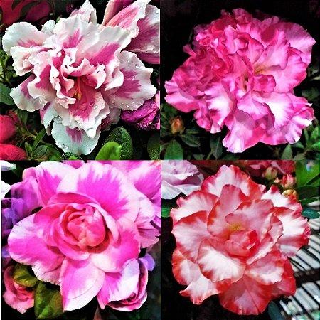 Kit c/ 4 Variedades de Azaleias Mescladas de Flores Dobradas