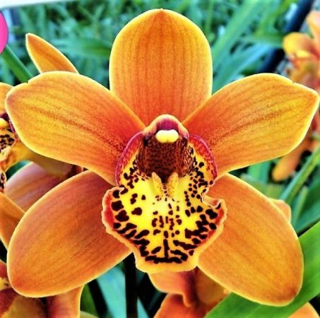 Cymbidium Fire on the Mountain 'Sunset'