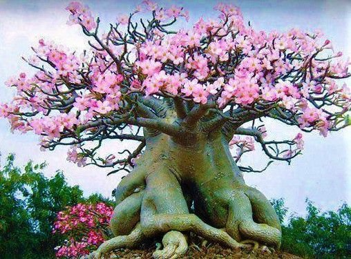 Rosa do Deserto - Muda de Flor DOBRADA
