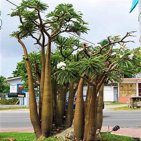 Palmeira de Madagascar