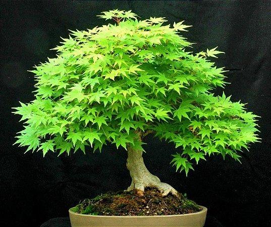 Acer Palmatum Anão - Raridade  - Ideal p/ Bonsai