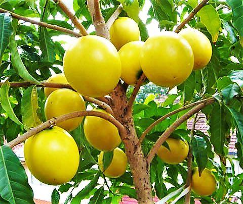 Abiu ou Abieiro - Fruta das mais Doces