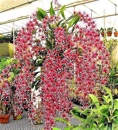 Orquidea Epigeneium Lyonii
