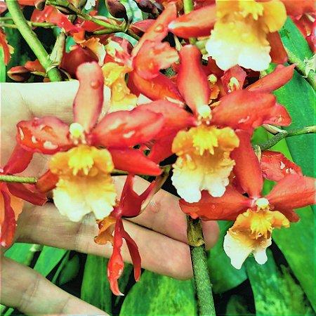 Orquidea Wilsonara Chococat - Pronta p/ Florir