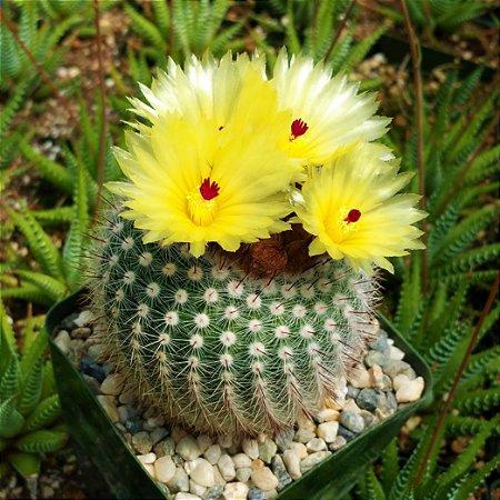 Cacto Notocactus scopa