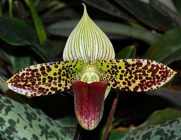 Orquídea Sapatinho Híbrido Paphiopedilum Sukhakulii x Leucochilum