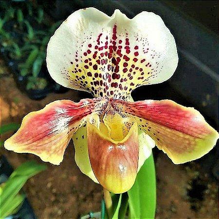 Orquidea Sapatinho Hibrida Paphiopedilum Tokyo Great Excellence
