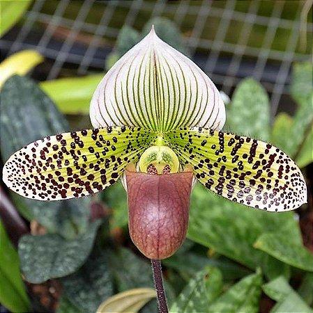 Orquidea Sapatinho Hibrida Paphiopedilum Macabre x Sukhakulii