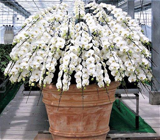 Orquídea Phalaenopsis Branca White Larger Botões Grandes Muda