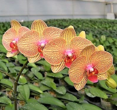 Orquidea Phalaenopsis Lianger Orange Muda