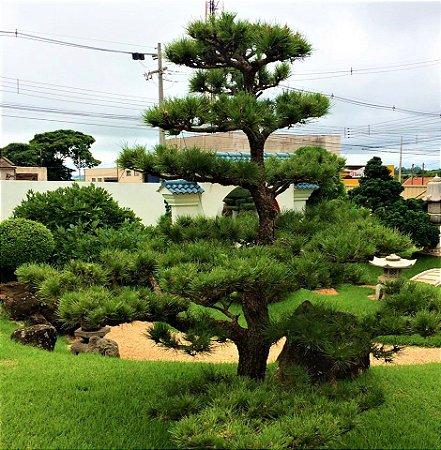 Pinheiro Negro Japonês - Ornamental