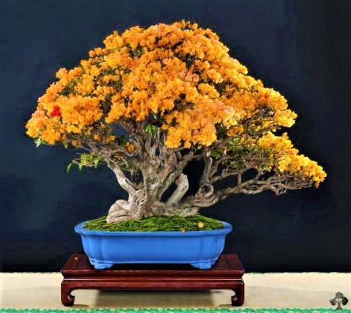 Bonsai Primavera Amarela-Alaranjada- Raridade