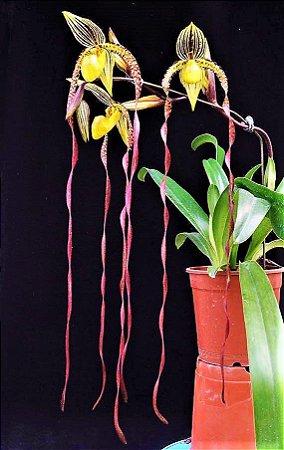 Orquídea Sapatinho Híbrida Paphiopedilum Sanderianum X Philippinense - Raridade e Exótica