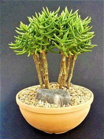 Mini-Pinheiro Crassula Tetragona - Suculenta