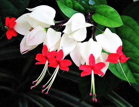 Planta Lagrima de Cristo - Semi-Trepadeira Arbustiva Lenhosa