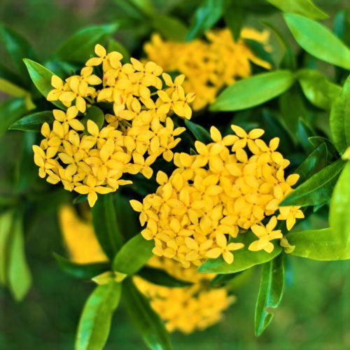 Mini Ixora Amarela