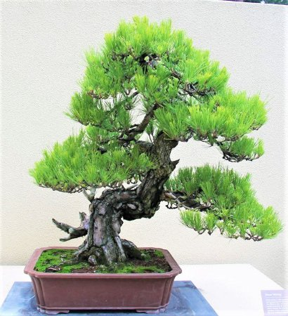 PINHEIRO NEGRO JAPONÊS - BONSAI