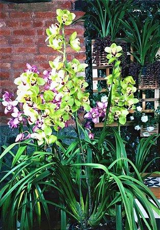 Orquídea Cymbidium Nobilis Gigante Cor Verde-Limão - Adulta