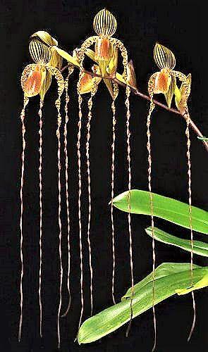 Orquídea Sapatinho Híbrida Paphiopedilum SANDERIANUM X ANITUM - Rara e Exótica