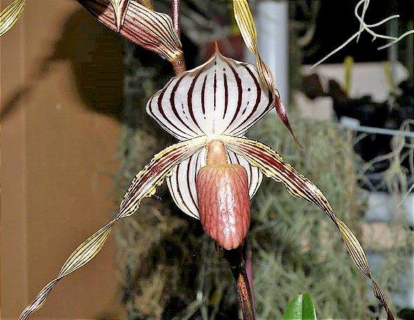 Orquídea Sapatinho Híbrida Paphiopedilum Lady Isabel x General- Raridade