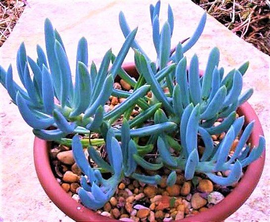 Senécio Azul - Suculenta