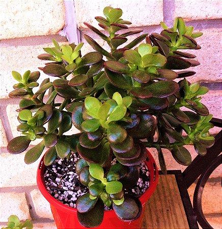 Jade-Miniatura - Suculenta