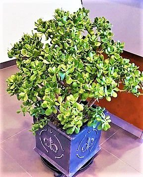 Jade Miniatura ou Mini Jade - Suculenta