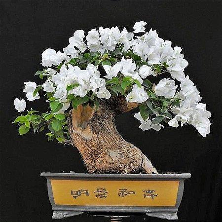 Bonsai de Primavera Flores Brancas