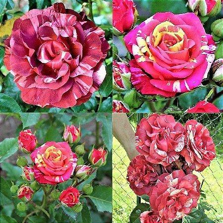 Kit c/ 2 Mudas de Lindas Rosas Trepadeiras Mescladas - Chocolate e Caribbea - Flores Grandes