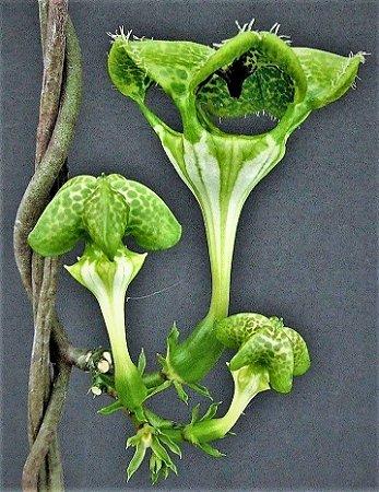 Planta Paraquedas ou Planta Guarda-Chuva  - Suculenta